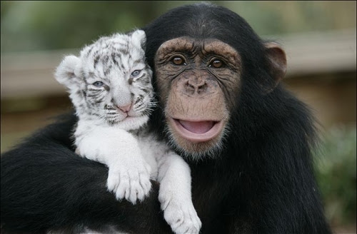 animal, animals, aww, awww, chimpanzee, cute