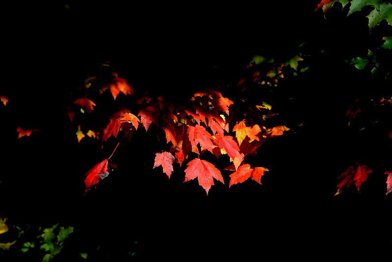 sunlit maple leaves