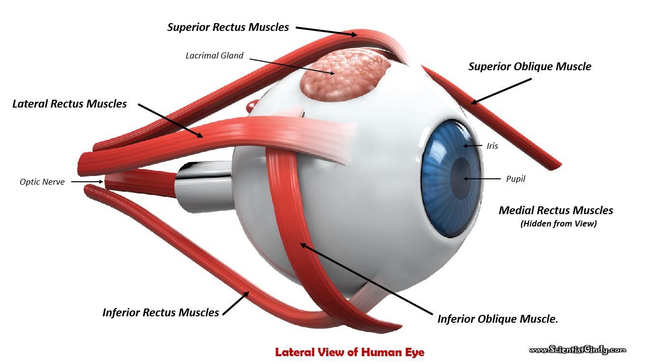 eye muscles1_orig