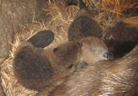 Three Baby Beavers Born at Jackson Zoo Need Names   ZooBorns