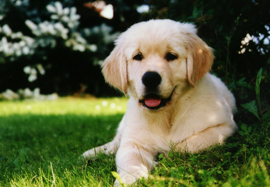 Golden Retriever Dog : Temperament, Exercise and Pictures  InspirationSeek.com