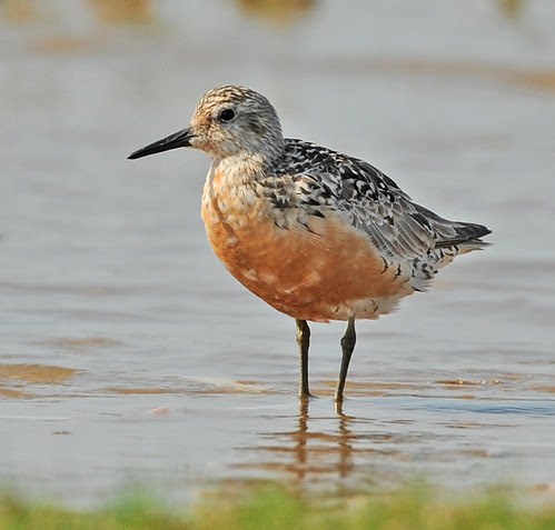 Summer Plumaged Red Knot