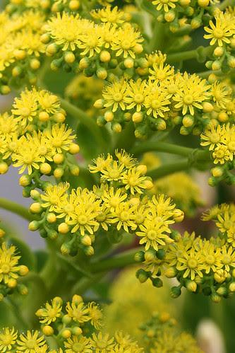 aeonium undulatum flowers