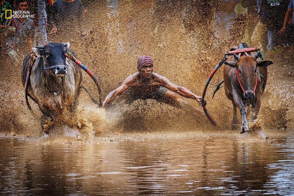 Гонки на биках в Індонезії