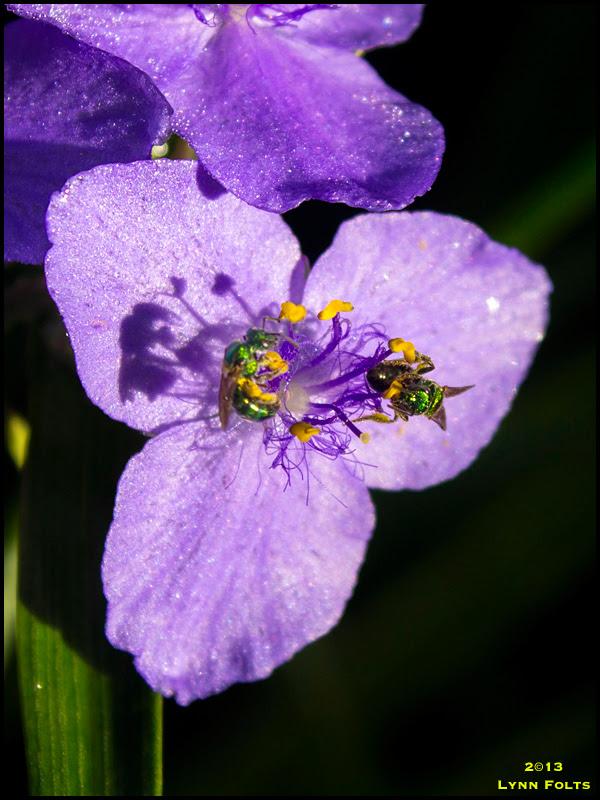 Spiderwort