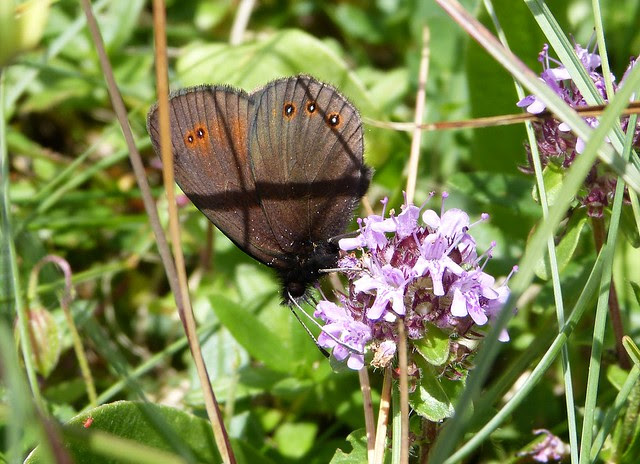 Woodland Ringlet, Switzerland