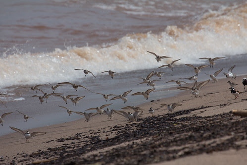 Mixed shorebird flock