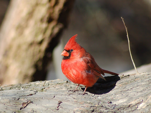 Northern Cardinal in Central Park Ravine