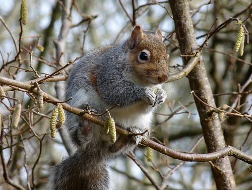 12058 - Grey Squirrel at RSPB Ynys-Hir