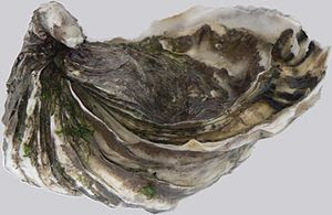 Oyster from Marennes-Oléron