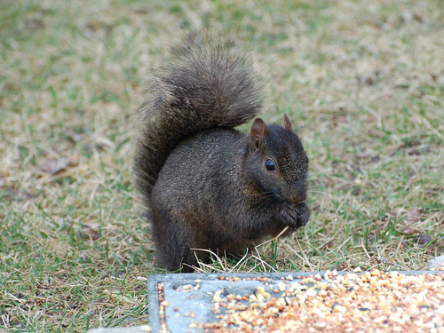 Black Squirrel in Morningside Park