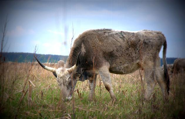 угорська корова
