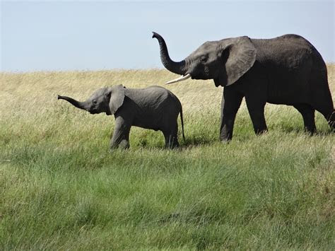 Free photo: Female Elephant, Baby, Grass   Free Image on