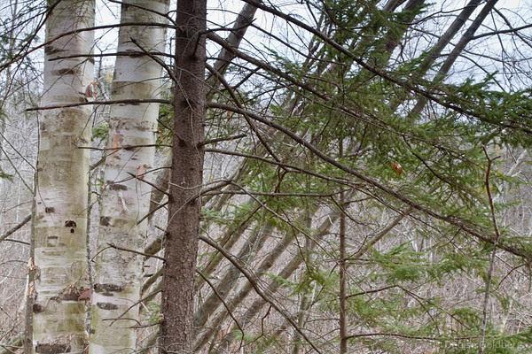 trees, angled & straight