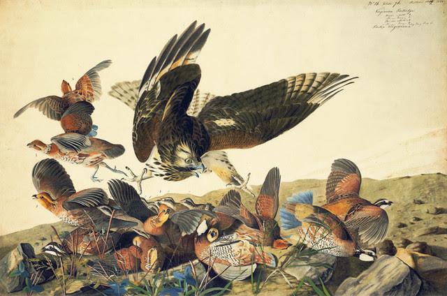 audubon quail