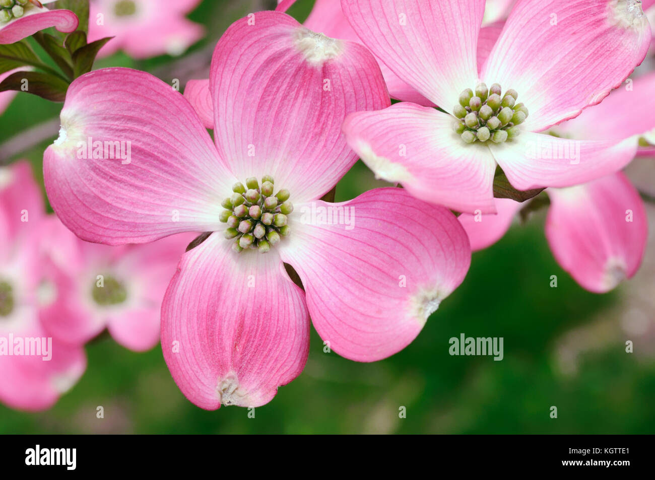 Pink Flowering Dogwood Flowers Close Up Stock Photo 165273865 Alamy