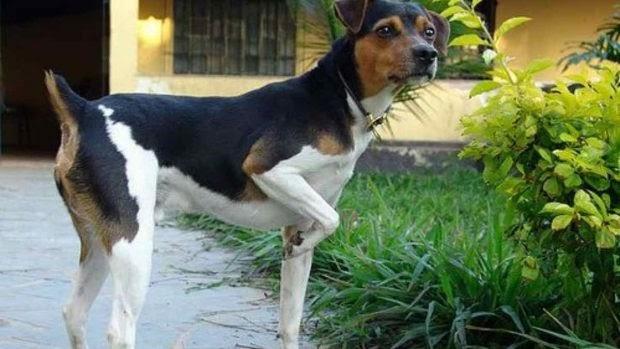 Características del perro terrier brasileño