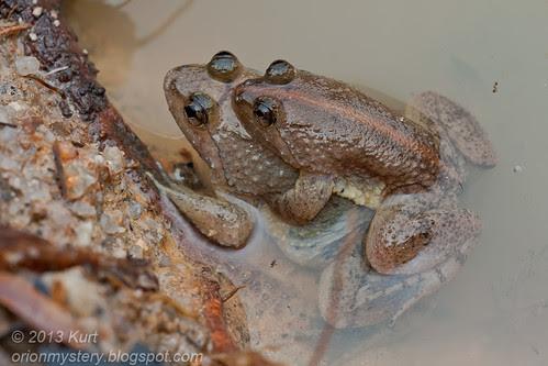 Marten's Oriental Frog amplexus IMG_3511 copy