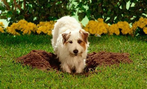How to Stop Dog Digging Holes in the Yard, Under Fence, Gate, Carpet and Bed   Dogs, Cats, Pets
