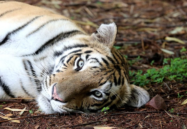 Explained - Tiger Population Rise in India