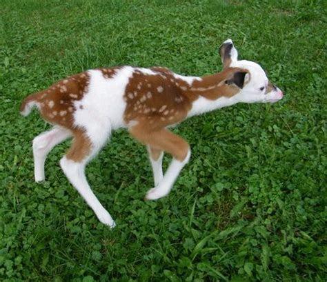 piebald tumblr rare white faced fawn animals baby