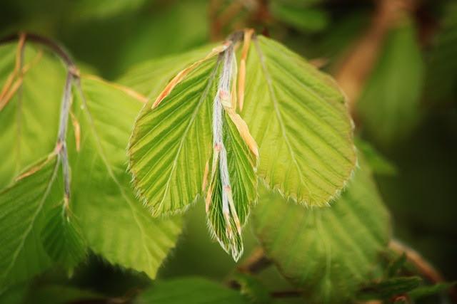 Beech, Beech Leaf, Beech Leaves, Leaves, Nature, Tree