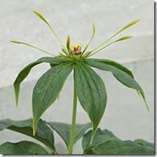 Paris polyphylla 1
