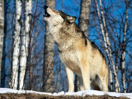 Estructura Social De Los Lobos Lobopedia