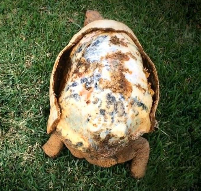 Tortuga perdió su caparazón en un incendio y lo recupera gracias a la tecnología de impresión 3D