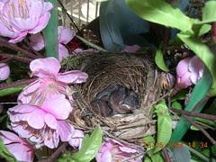 bulbul chicks3 (13May)