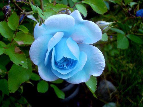 skyline rose