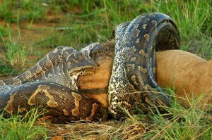 African python swallows an entire wildebeest calf