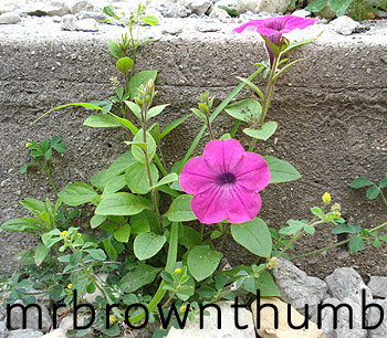 Petunia, Annual with Weeds, Blog Action Day