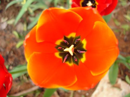Neon tulip