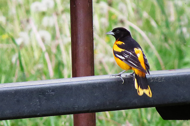 IMG_3484BaltimoreOriole
