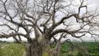 hi-baobab-tree_145x227