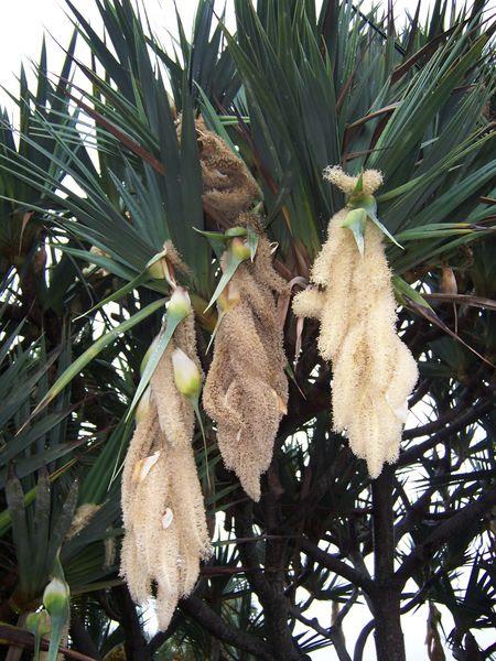 Soubor:Pandanus utilis male flowers2.JPG