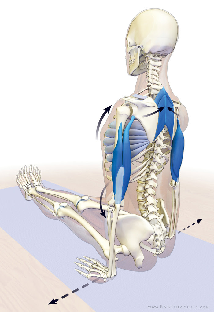 accessory muscles of breathing in dandasana