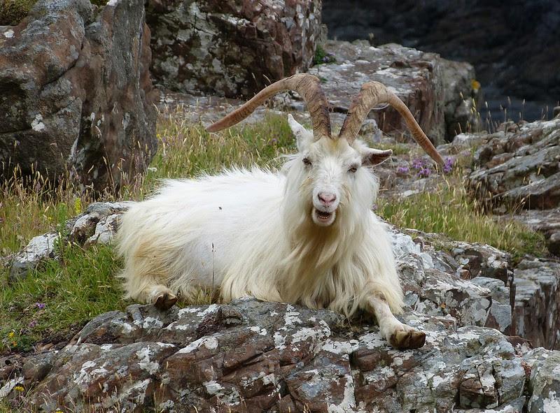 P1050713 - Wild Goat, Isle of Mull