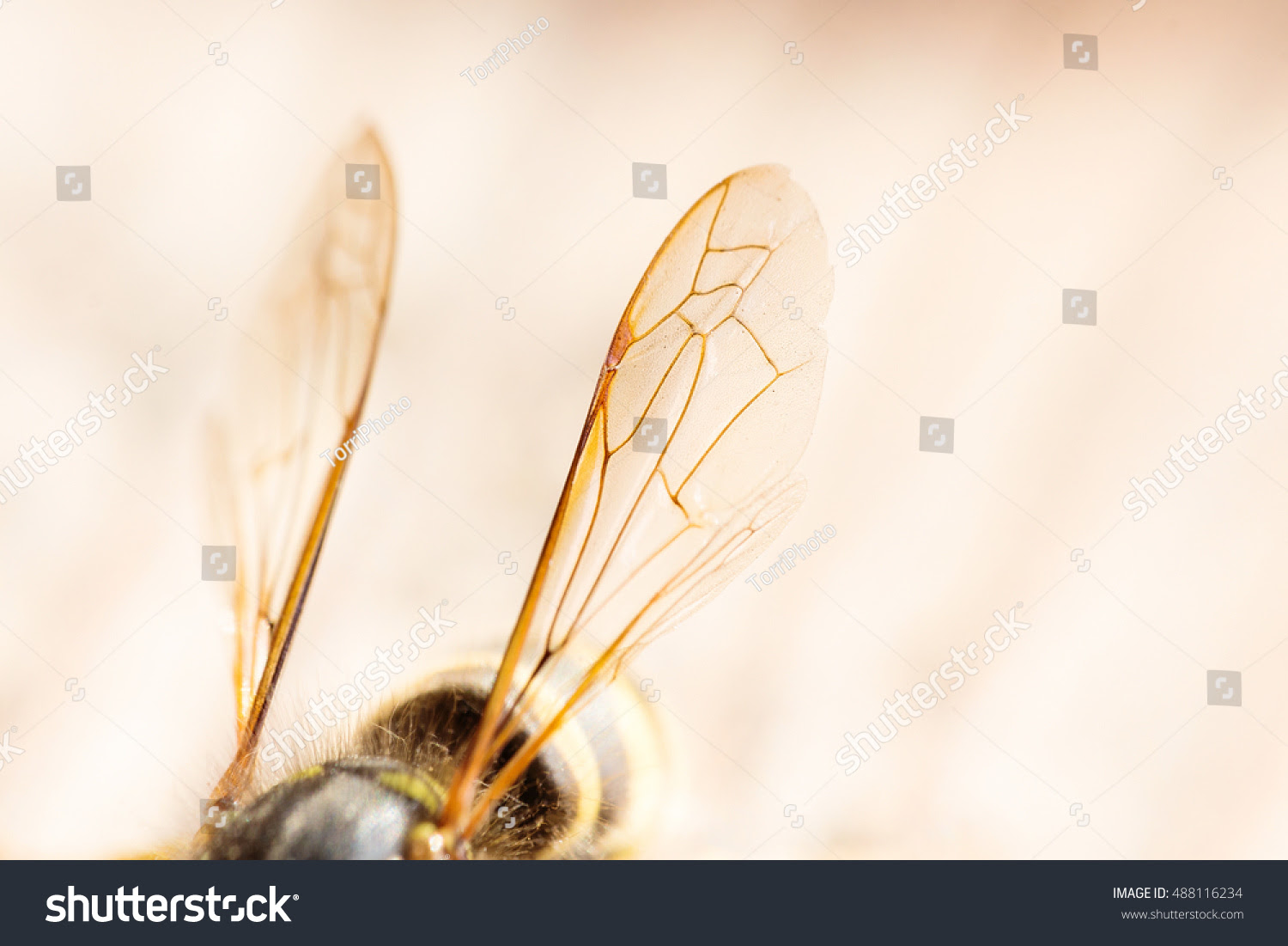 Closeup wasp wings. Insect background with copy space