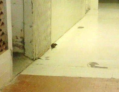 rato no hospital