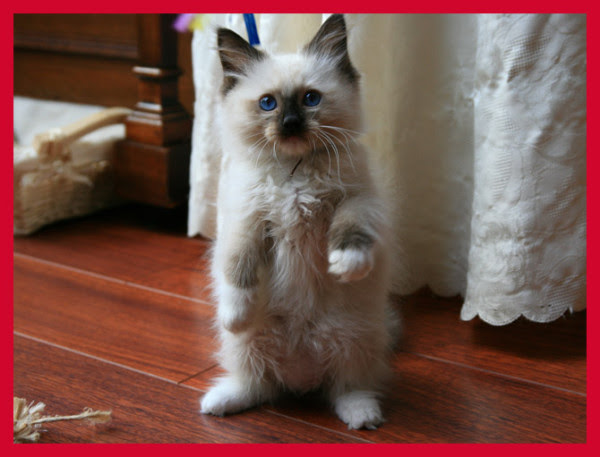 cutest cat breeds (15)