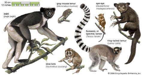 Aye aye   primate   Britannica.com