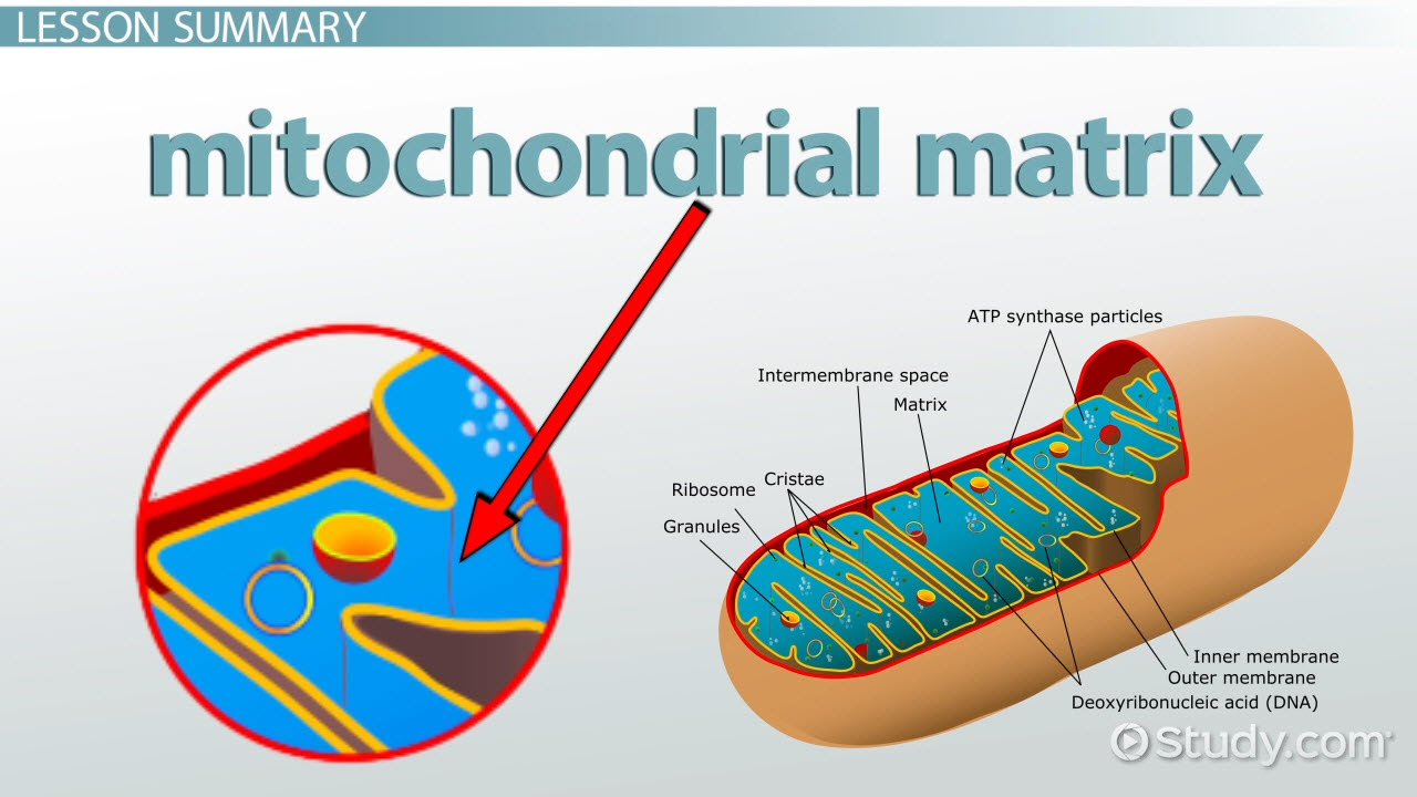 mitochondrial matrix definition and function thumb_114262