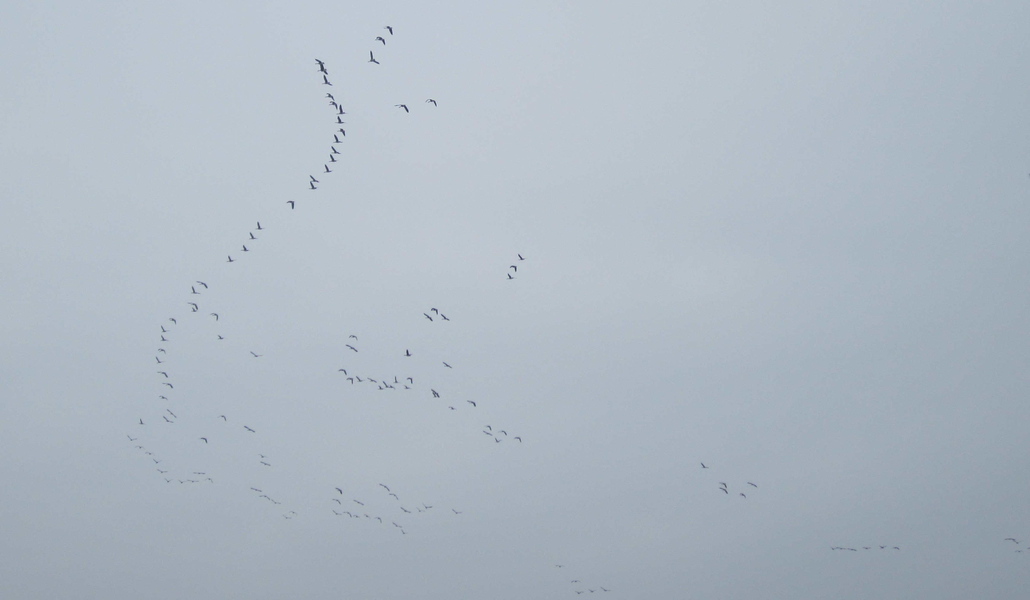 Hundreds of Geese Flying Overhead