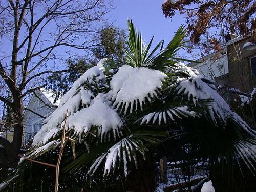 Snowy palm