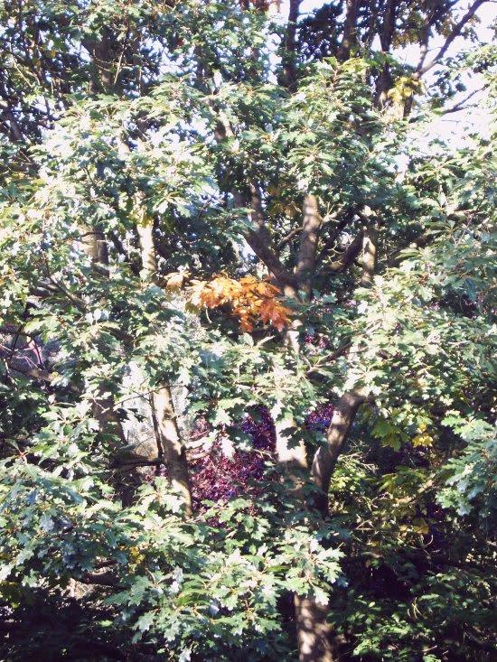 Es wird Herbst - Amerkikanische Roteiche, Ausschnitt