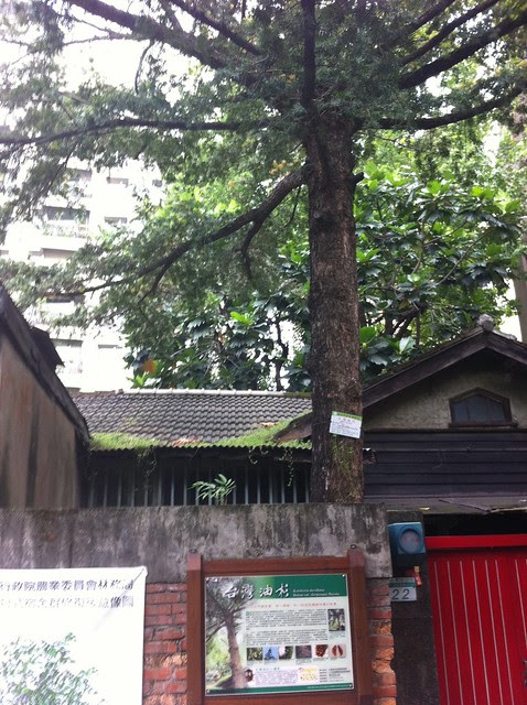 超過70年歷史的台灣油杉
