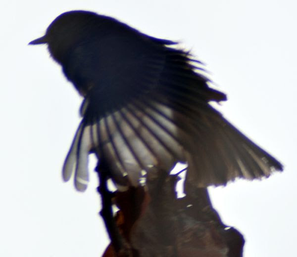 A photo of a black phoebe bird as it created a silhouette against the evening Sun...as seen with 500mm super-zoom lens attached to my Nikon D3300 DSLR camera.