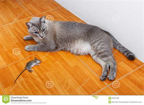 Cat Kill Rat Royalty Free Stock Photo   Image: 36427285